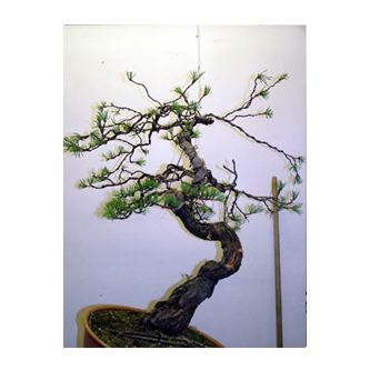 French Pine Bonsai Roger - Kevin Willson Bonsai