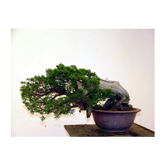 Juniper Bonsai Nigel - Kevin Willson Bonsai
