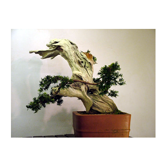 Yew Bonsai Johnjo - Kevin Willson Bonsai