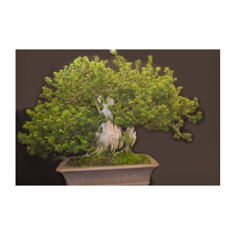 English Yew Bonsai Ian
