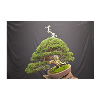 Kevin Willson Juniper Bonsai