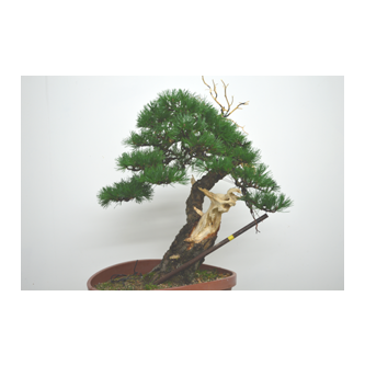 Kevin Willson Scots Pine Bonsai